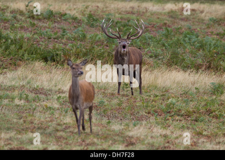 Male Red Deer (Cervus elaphus) stag bellowing with hind during autumn rut. Studley Royal, North Yorkshire, UK - Stock Photo