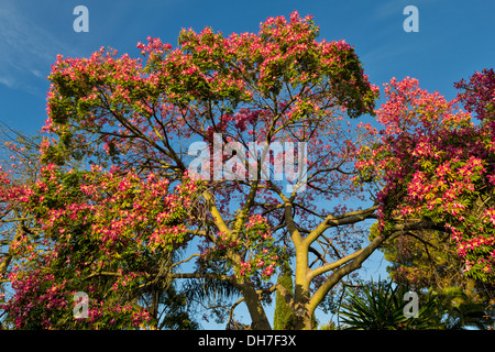 SILK FLOSS TREE IN MARBELLA SPAIN Ceiba speciosa WITH PINK FLOWERS - Stock Photo