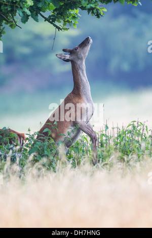 Female Red Deer (Cervus elaphus) hind stood on back legs, eating leaves from tree. Studley Royal, North Yorkshire, - Stock Photo