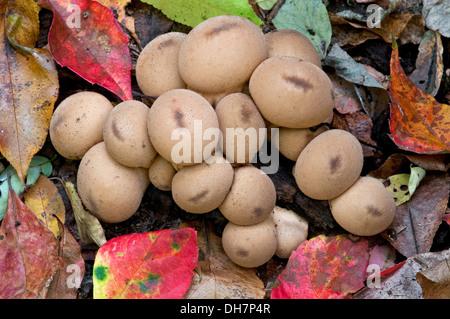 Common Puffball Mushrooms Lycoperdon perlatum Autumn, Michigan USA - Stock Photo