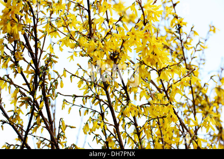 charming yellow forsythia stems in a contemporary style  Jane Ann Butler Photography  JABP1011 - Stock Photo
