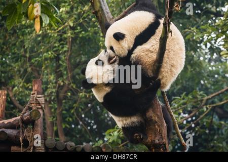 Panda bears playing at Chengdu Research Base of Giant Panda Breeding Center in Sichuan China - Stock Photo