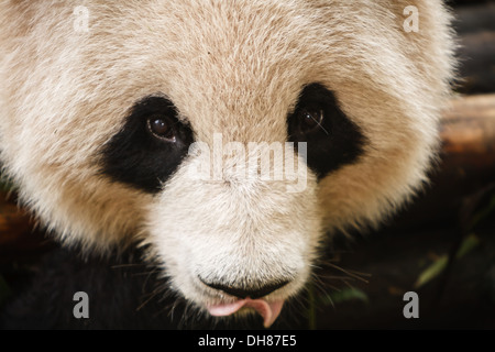 Close up of Panda bear's face with tongue hanging out Chengdu Giant Panda Breeding Center in Sichuan China - Stock Photo