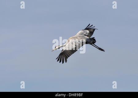 Common Crane (Grus grus) in flight at staging area, Günzer See lake, Vorpommern-Rügen District, Mecklenburg-Western - Stock Photo