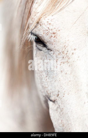 beautiful pura raza espanola pre andalusian horse outdoor in summer - Stock Photo