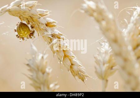 Four-spot Orb-weaver (Araneus quadratus) in a wheat field - Stock Photo