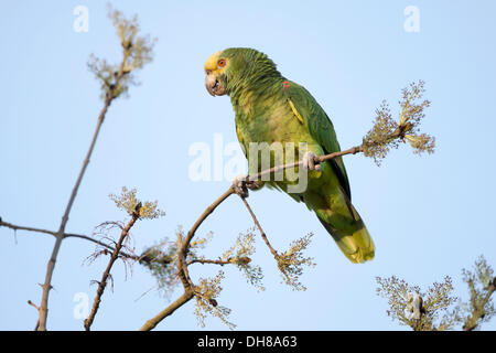 Yellow-headed Amazon (Amazona oratrix), free-living, Rosenstein Park, Stuttgart, Baden-Wuerttemberg - Stock Photo