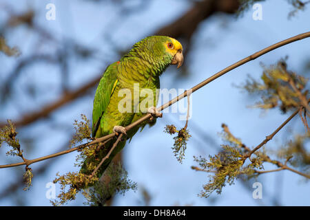 Yellow-headed Amazon (Amazona oratrix), captive, Rosenstein Park, Stuttgart, Baden-Wuerttemberg - Stock Photo