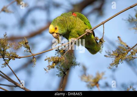 Yellow-headed Amazon (Amazona oratrix), captive, Rosenstein Park, Stuttgart, Baden-Wuerttemberg - Stock Photo