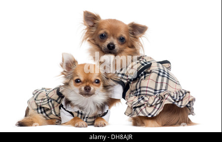 Two dressed up Chihuahuas next to each other against white background - Stock Photo