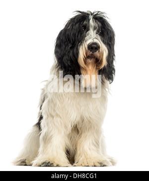 Dutch Sheepdog sitting against white background - Stock Photo