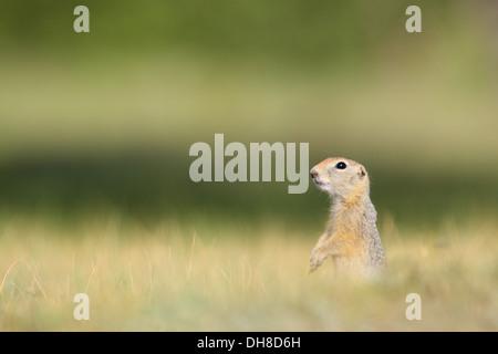 Long-tailed Ground Squirrel (Spermophilus undulatus), Baikal, Siberia, Russia - Stock Photo