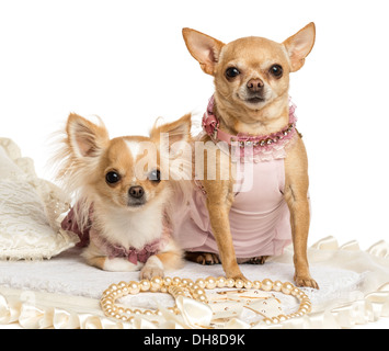 Two dressed-up Chihuahuas sitting on rug against white background - Stock Photo