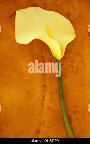 Arum lily Zantedeschia aethiopica 'Crowborough'. Studio shot of  single creamy white flower on long green stem lying - Stock Photo