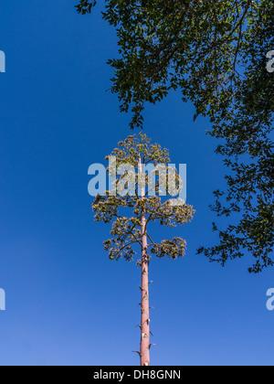 Century plant (Agave americana) blooming in Ojai, California. - Stock Photo