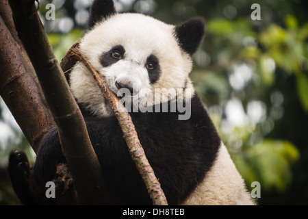 Panda bear chewing on a branch and climbing a tree at Chengdu Giant Panda Breeding Center in Sichuan China - Stock Photo
