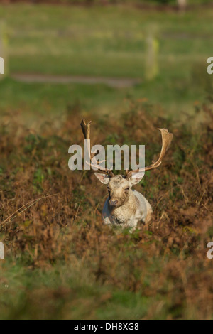 White fallow deer buck sitting in bracken - Stock Photo