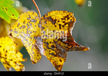 Leaves of a Sycamore tree changing into their autumn colours. - Stock Photo