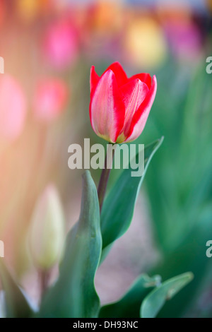 Tulipa cultivar, Single tulip with red petals streaked with white. - Stock Photo