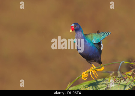 Purple Gallinule (Porphyrio martinicus) - Circle B Bar, Lakeland, Florida - Stock Photo