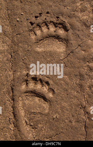 Close up of footprints of Eurasian brown bear (Ursus arctos arctos) showing forepaw and hind leg tracks in the sand - Stock Photo