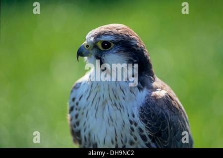 Peregrine Falcon (Falco peregrinus), Wanderfalke (Falco peregrinus) - Stock Photo