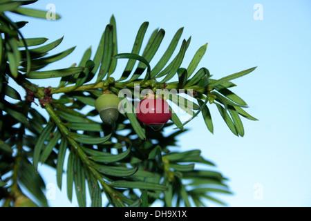 Yew tree berries - Stock Photo