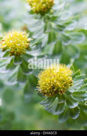 Rose root, Rhodiola rosea, used in herbal medicine. Close up of flower heads, selective focus. - Stock Photo
