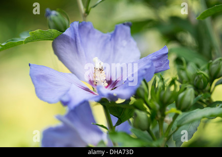 hibiscus syriacus oiseau bleu stock photo royalty free. Black Bedroom Furniture Sets. Home Design Ideas