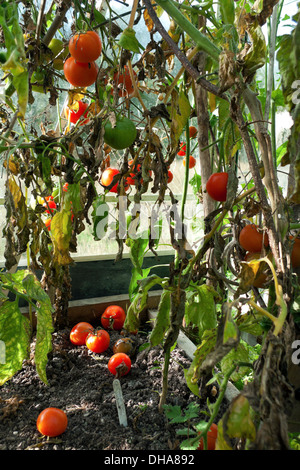 Tomatoes with blight on leaves growing in a greenhouse at the end of the  season in autumn Carmarthenshire Wales - Stock Photo