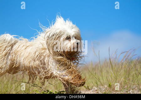 A cheerful and slightly wet dirty dog plays running in a meadow on background blue sky. - Stock Photo