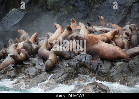 Steller Sea Lions, (Eumetopias jubatus), Glacier Island, Prince William Sound, Chugach National Forest, Alaska. - Stock Photo