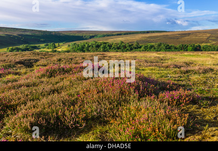 Heather bursts into bloom over the rugged North York Moors near the village of Goathland, Yorkshire, U - Stock Photo