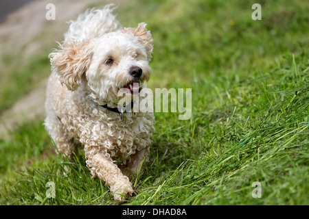A wet Breed Dog Havanese - Poodle mix, running in a green field a high slope. - Stock Photo
