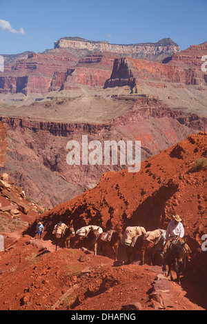 Pack mules on the South Kaibab Trail, Grand Canyon National Park, Arizona. - Stock Photo