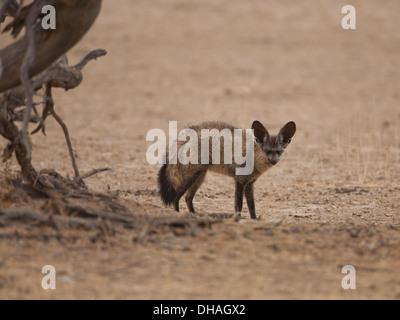 Bat-eared Fox (otocyon megalotis) in the kalahari desert, South Africa - Stock Photo