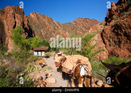 Mules on the South Kaibab Trail at the bottom of Grand Canyon National Park, Arizona. - Stock Photo