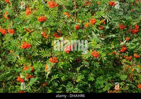 Sorbus aucuparia, rowan or mountain-ash with orange berries in summer - Stock Photo