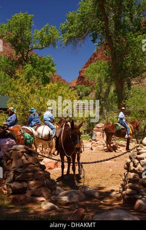 Pack Mules At Phantom Ranch At The Bottom Of Grand Canyon