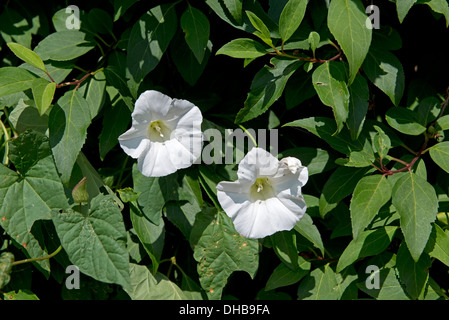 Greater bindweed, Calystegia sepium, flowers on a plant intertwined with a garden shrub, Devon, July - Stock Photo