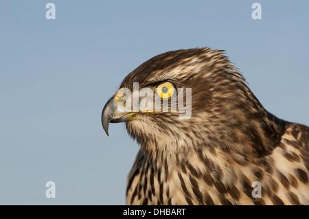 Northern Goshawk, Accipiter gentilis, Germany, Europe - Stock Photo