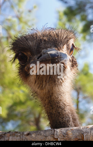 Surprised ostrich looking out of a fence - Stock Photo