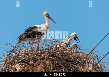 White stork (Cionia ciconia) adult with two chicks at nest - Stock Photo