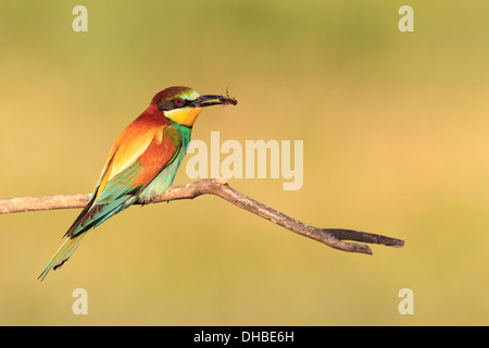European Bee-eater (Merops apiaster) perched on branch with prey. Lleida. Catalonia. Spain. - Stock Photo