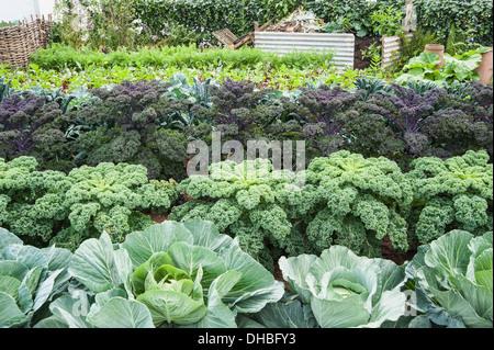 Kale Brassica oleracea acephala. Hampton Court 2009. Winchester Growers The Growing Tastes allotment garden. Rows - Stock Photo