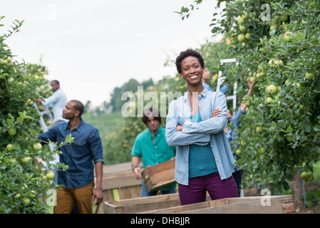 An organic orchard on a farm. A group of people picking green apples from the trees. - Stock Photo