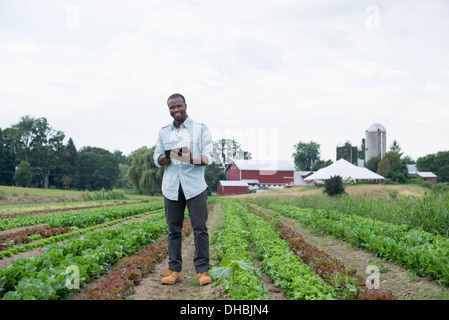 An organic farm growing vegetables. A man in the fields inspecting the lettuce crop, using a digital tablet. - Stock Photo