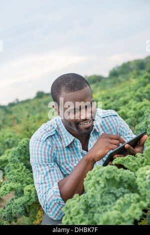 An organic vegetable farm. A man working among the crisp curly kale crop, using a digital tablet. - Stock Photo