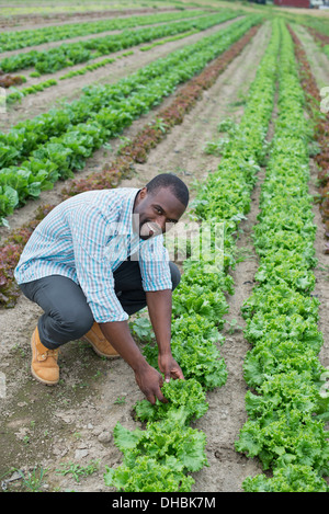 An organic farm growing vegetables. A man in the fields inspecting the lettuce crop. - Stock Photo