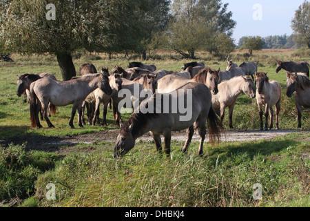 Herd of Polish primitive horses a.k.a. Konik Horses - Stock Photo